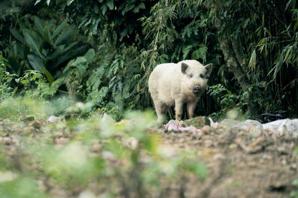 野地白毛豬